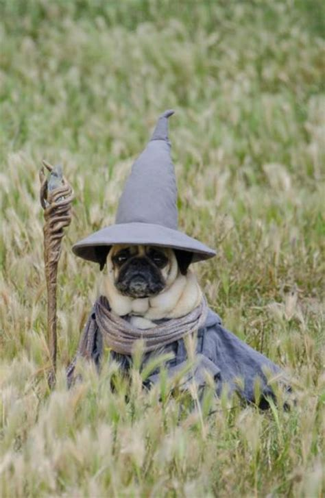 gandalf pug pugs in their looks page 1