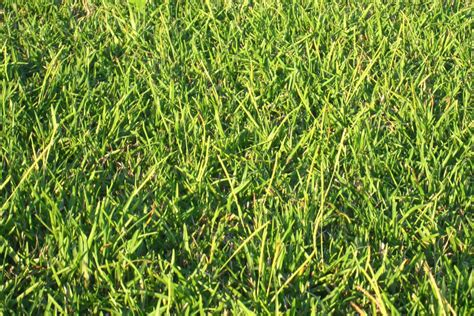 what color is grass covington centipede grass color retaining grass by sod