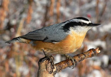 bird of the month red breasted nuthatch the rock pile