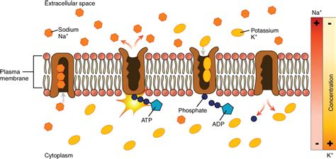 carbohydrates on cell membranes help cells this diagram shows many sodium potassium pumps embedded in