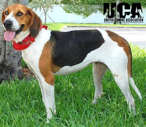 walker hound treeing walker coonhound breed information and pictures united canine association