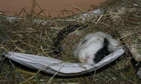 meerschweinchen schlafen schlafen meerschweinchen eigendlich