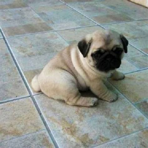 i want a pug puppy 27 best alll i want is a pug for images on pug dogs pug