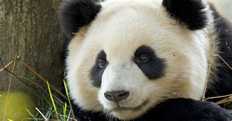 images of panda bears wwf panda
