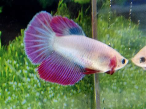 Betta Fish Hm Multicolor Halfmoon Hm Betta Fish My Water Pets