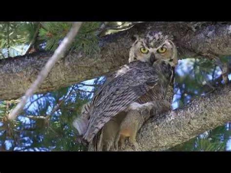 backyard owls minute out in it backyard owls youtube