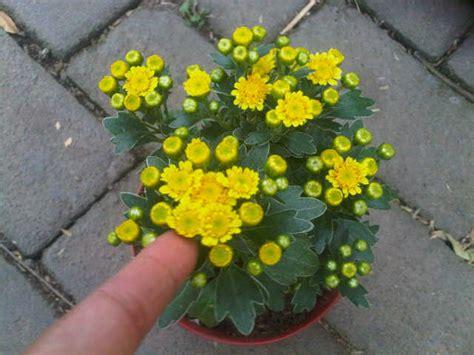 Bunga Krisan Orange Besar tanaman krisan yellow jual tanaman hias