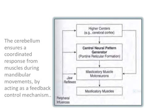 pattern formation in the cerebellum mandibular movements