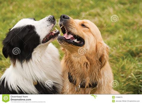 collie vs golden retriever golden retriever vs border collie dogs our friends photo