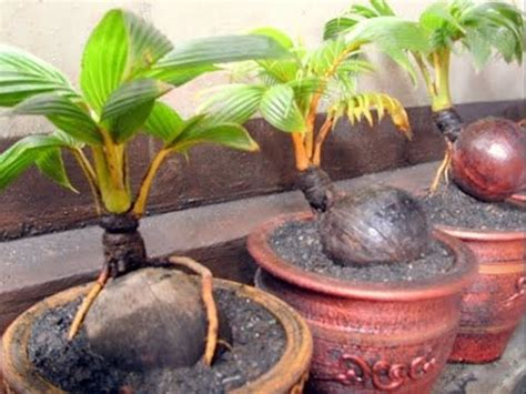 plant dwarf coconut trees youtube