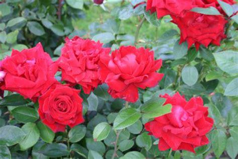 Come Coltivare Le Roselline In Vaso by Come Coltivare Le In Vaso Pollicegreen