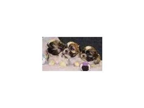 what size crate for a shih tzu shih tzu puppies in minnesota