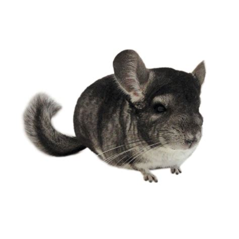 Small Animals Type C chinchillas petco