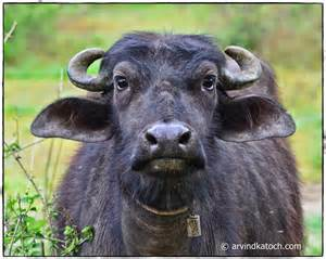 indian buffalo silent and still looking at me and my