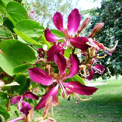 buy bauhinia purpurea purple orchid tree  kg seeds   nursery   seeds