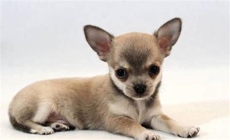 cani di razza piccola per appartamento le 10 razze di da tenere in appartamento e in