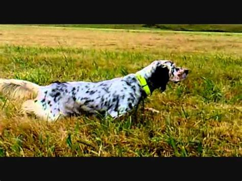 english setter dog 101 all about english setter dog breed dogs 101 funnydog tv