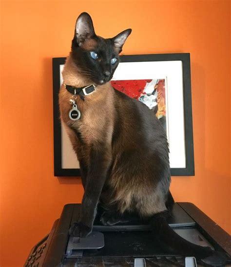 8 Reasons To Get A Siamese Cat by Pin Tillagd Av Hult Tob P 229 Katter Katter