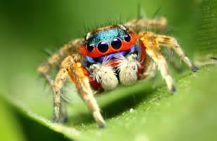 colorful spiders colorful jumping spider karthi keyan flickr