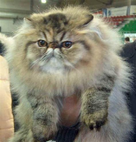 foto dei gatti persiani gatto persiano pelo lungo alla scoperta gatto persiano