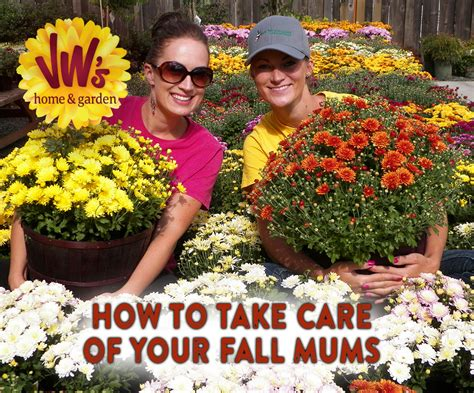 how to grow and care for fall mums van wingerden home