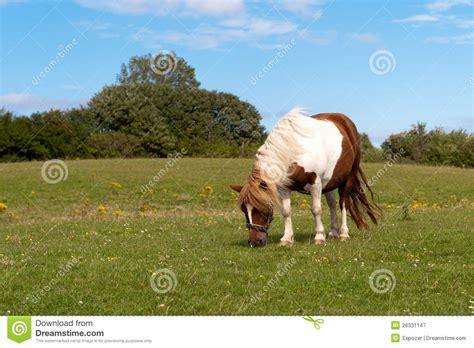 shetland pony stock photos images royalty free shetland shetland pony royalty free stock photography image 26331147