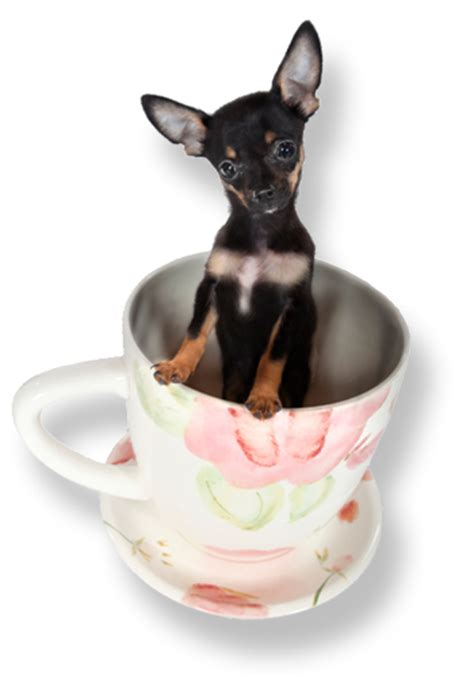 tea cups dogs teacup puppies and teacup dogs