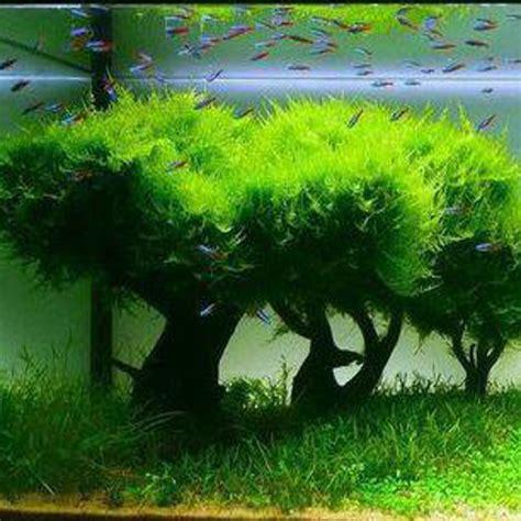 Aquascape Aquarium Supplies Java Moss Aquatic Plants
