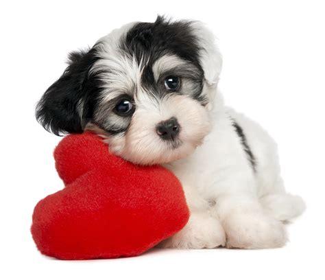 puppy valentines lover havanese puppy valentines day 2016