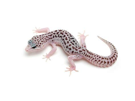 Leopard Gecko 2 total eclipse leopard gecko d geckos