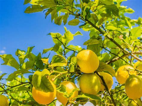 concime per limoni in vaso concimi per limoni in vaso affordable concimi per limoni