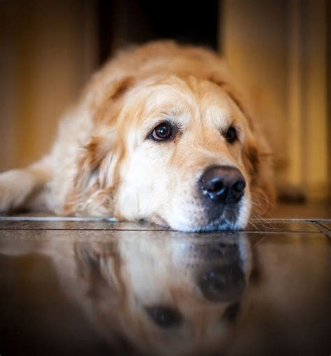 golden journey retrievers 20 things all golden retriever owners must never forget the last one brought me to