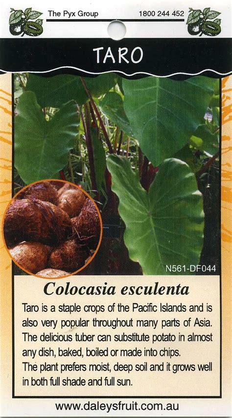 taro leaves plant care taro colocasia esculenta