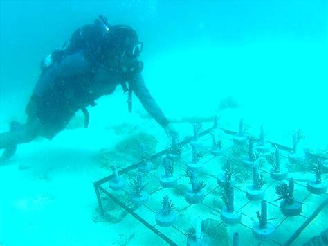 Bibit Terumbu Karang foto penakan penanaman sejuta terumbu karang simomot