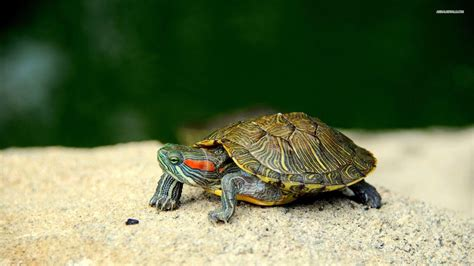 turtles background turtle wallpapers wallpaper cave