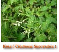 kenali manfaat  khasiat kina merah tanaman berkhasiat