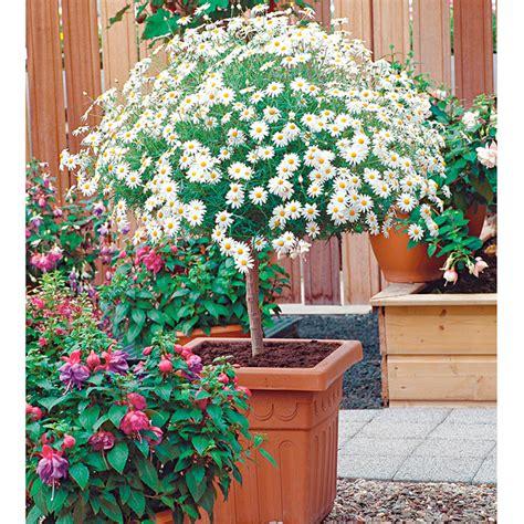 Marguerite Plant Mini Standard White All Flower Plants Flower Garden Plants