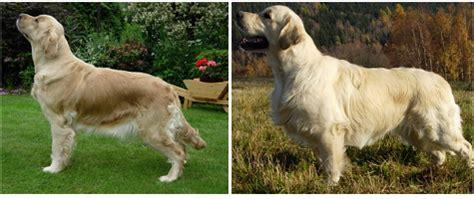 fekete golden retriever top 4 kutyafajta 193 llat vil 225 g