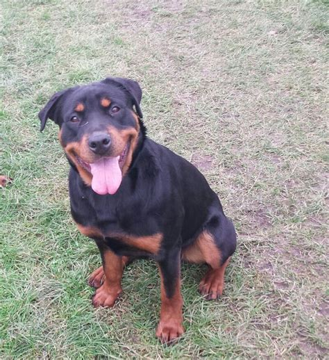 7 month rottweiler for sale rottweiler for sale wednesbury west midlands pets4homes