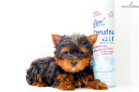 yorkie puppies for sale canada micro teacup yorkie puppies for sale my pet finder canada breeds breeds picture