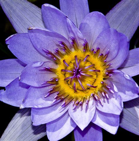 immagini fior di loto fiore di loto foto immagini piante fiori e funghi