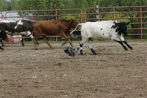australian herding aussie herding cattle australian shepherds