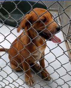 marion county pound 1000 images about adoptable redbone coonhounds on animal shelter 2 year