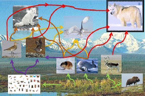 cadena trofica tundra tundra red alimenticia animales plantas