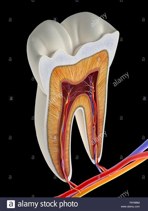 cross section of tooth molar tooth cross section artwork the upper biting