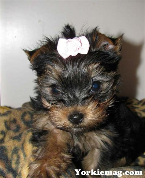 facts about teacup yorkies teacup yorkies information care and facts yorkiemag