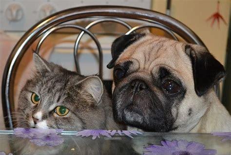 pug cat pug cat pugs