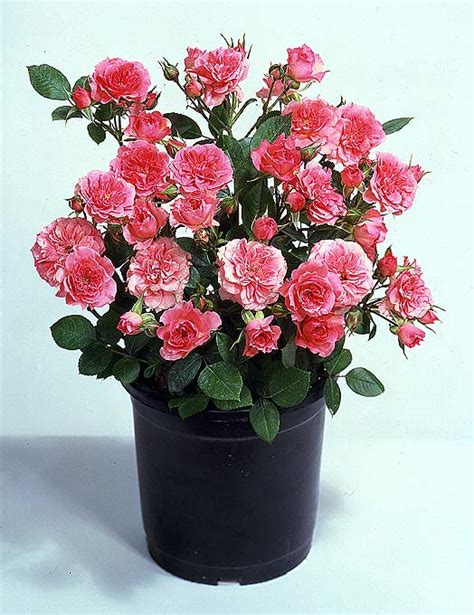 Small Flower Pot by Flowers For Flower Lovers Miniature Roses Pictures