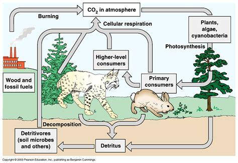 carbon cycle diagram worksheet bioh more elemental cycles