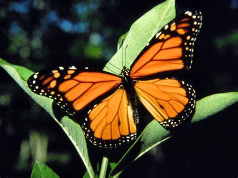monarch butterfly the garden monarch butterflies